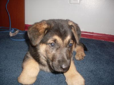 Texas The Germen Shepred Pup My-ger10