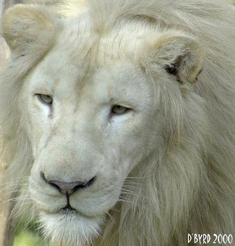 Lion Pride rp ONly White210