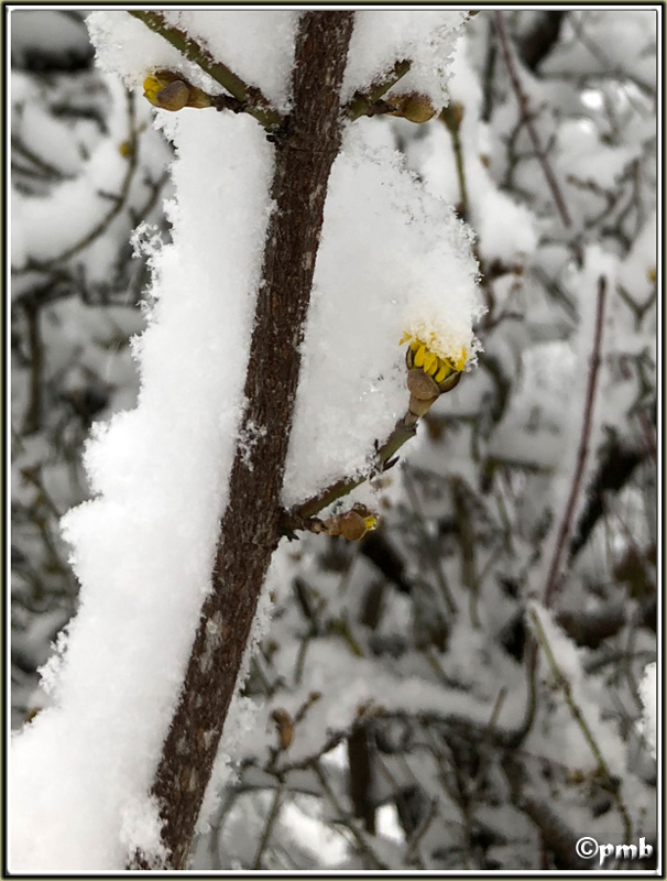 Il neige en Provence ! (avec quelques fleurs) 2018-081