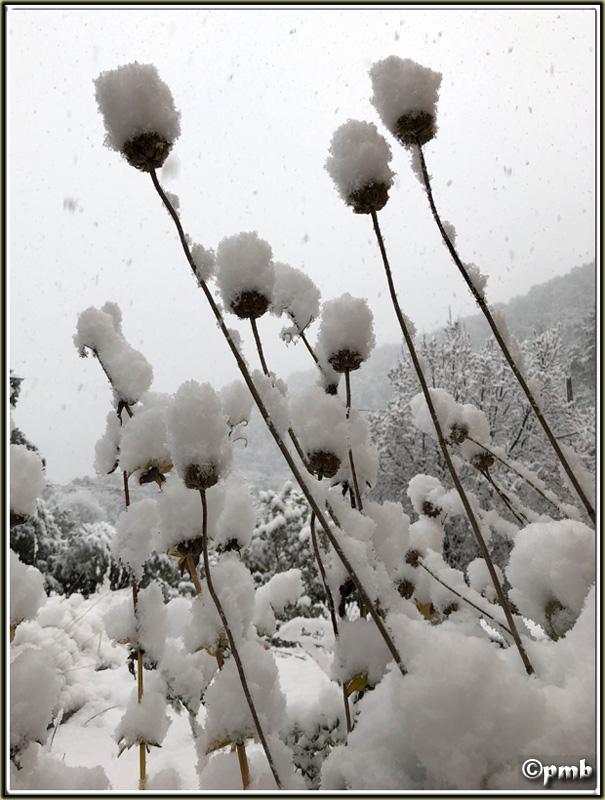 Il neige en Provence ! (avec quelques fleurs) 2018-083