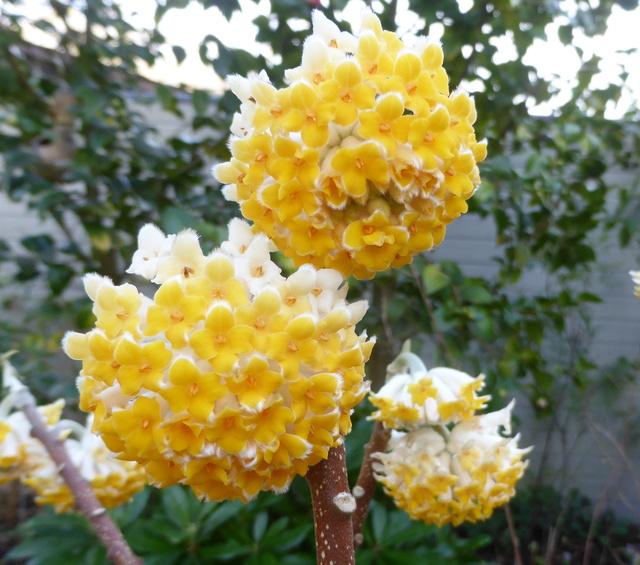 couleurs d'hiver au jardin  02-02-16