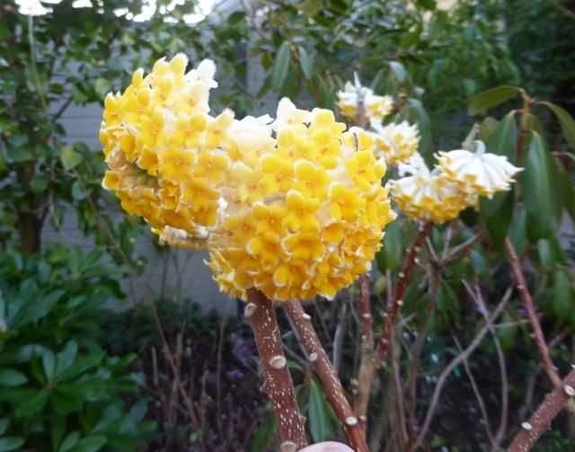 couleurs d'hiver au jardin  02-02-17