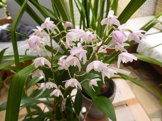 orchidées - floraisons du moment 2018 02-02-20