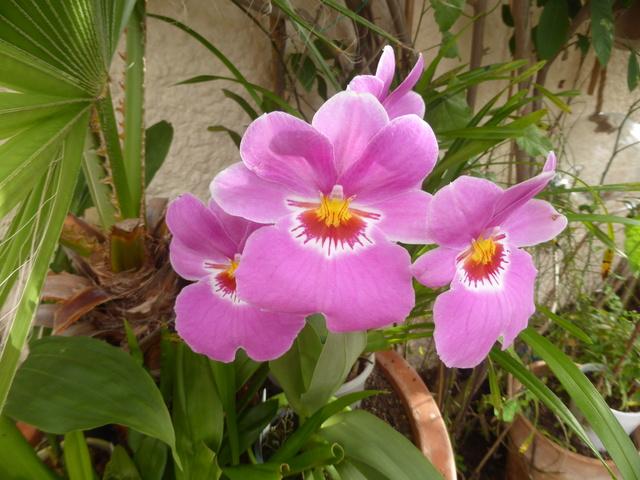 orchidées - floraisons du moment 2018 02-02-21