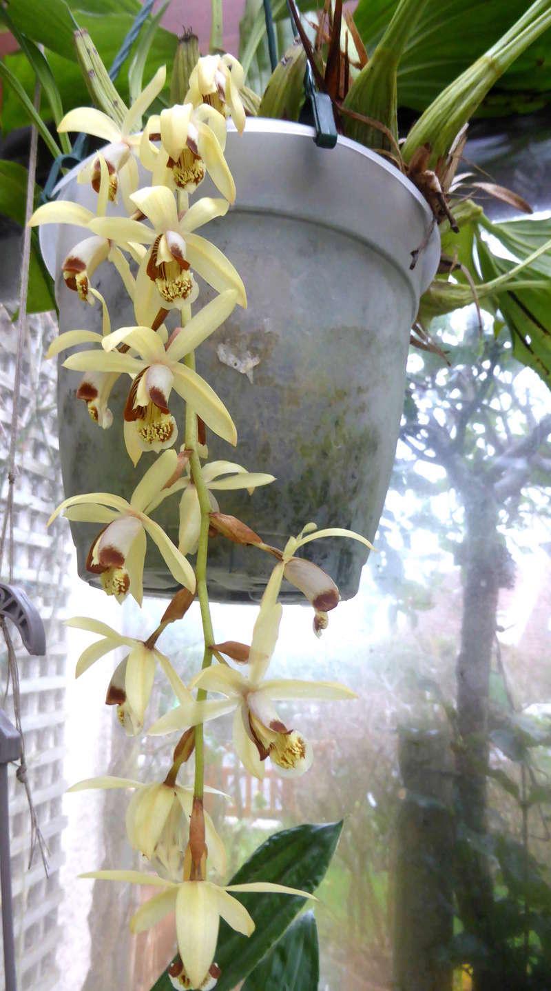 orchidées - floraisons du moment 2018 03-02-13