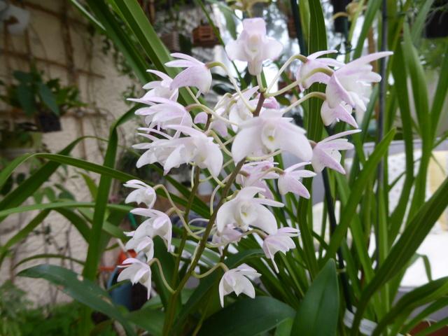 orchidées - floraisons du moment 2018 03-02-16