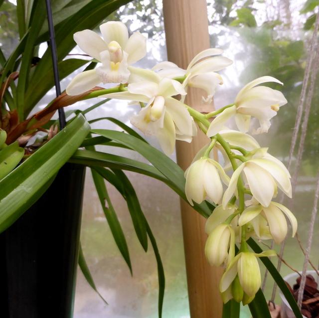 orchidées - floraisons du moment 2018 14-02-18