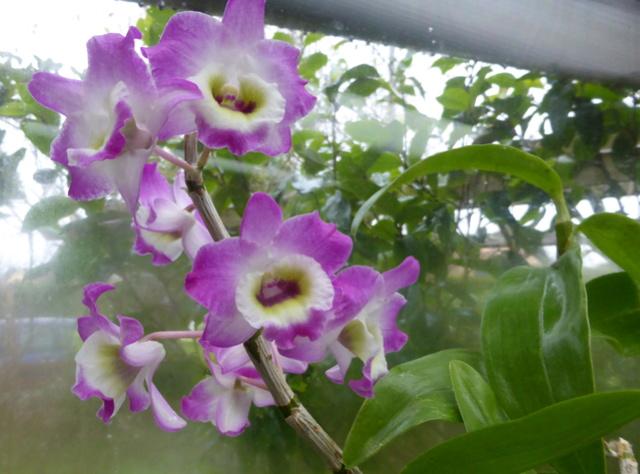orchidées - floraisons du moment 2018 14-02-19