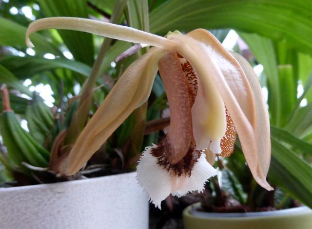 orchidées - floraisons du moment 2018 14-02-22