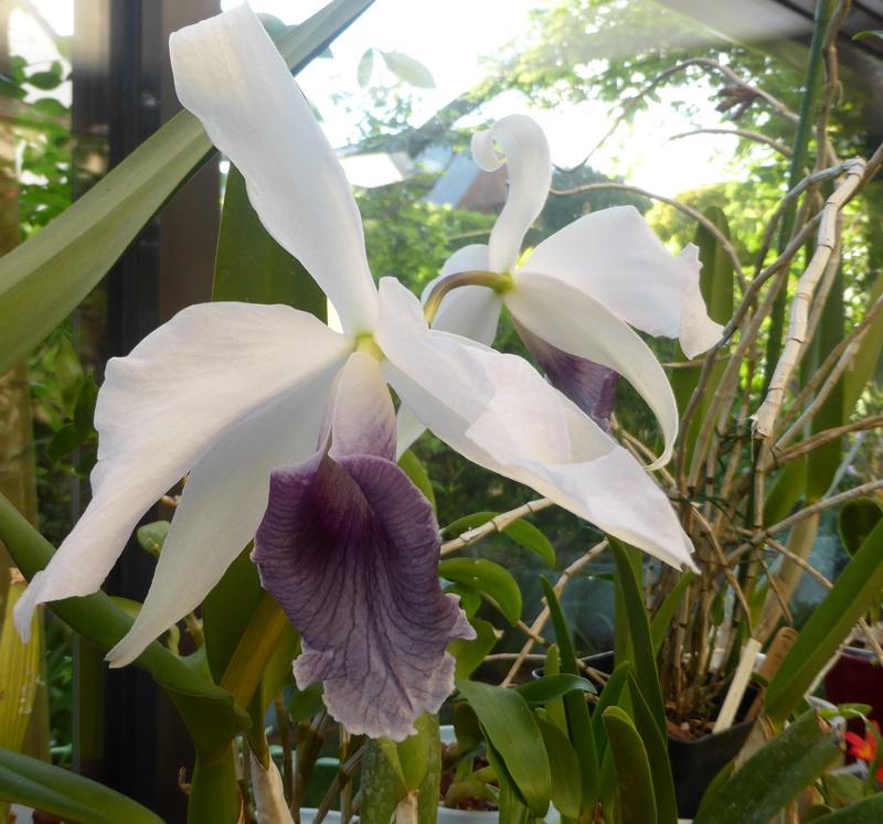 orchidées - floraisons du moment 2018 - Page 2 14-05-16