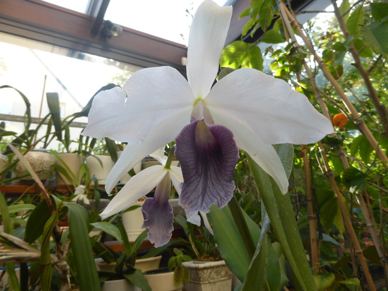 orchidées - floraisons du moment 2018 - Page 2 14-05-17