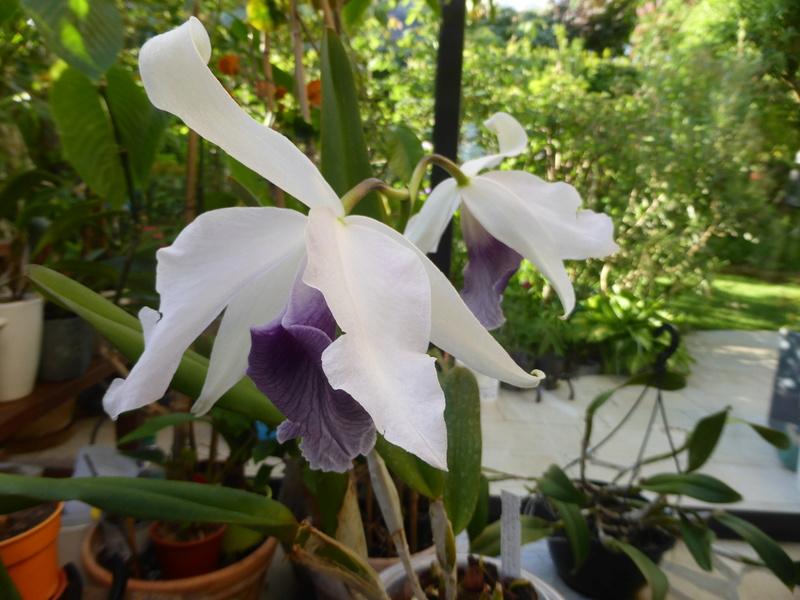 orchidées - floraisons du moment 2018 - Page 2 14-05-18
