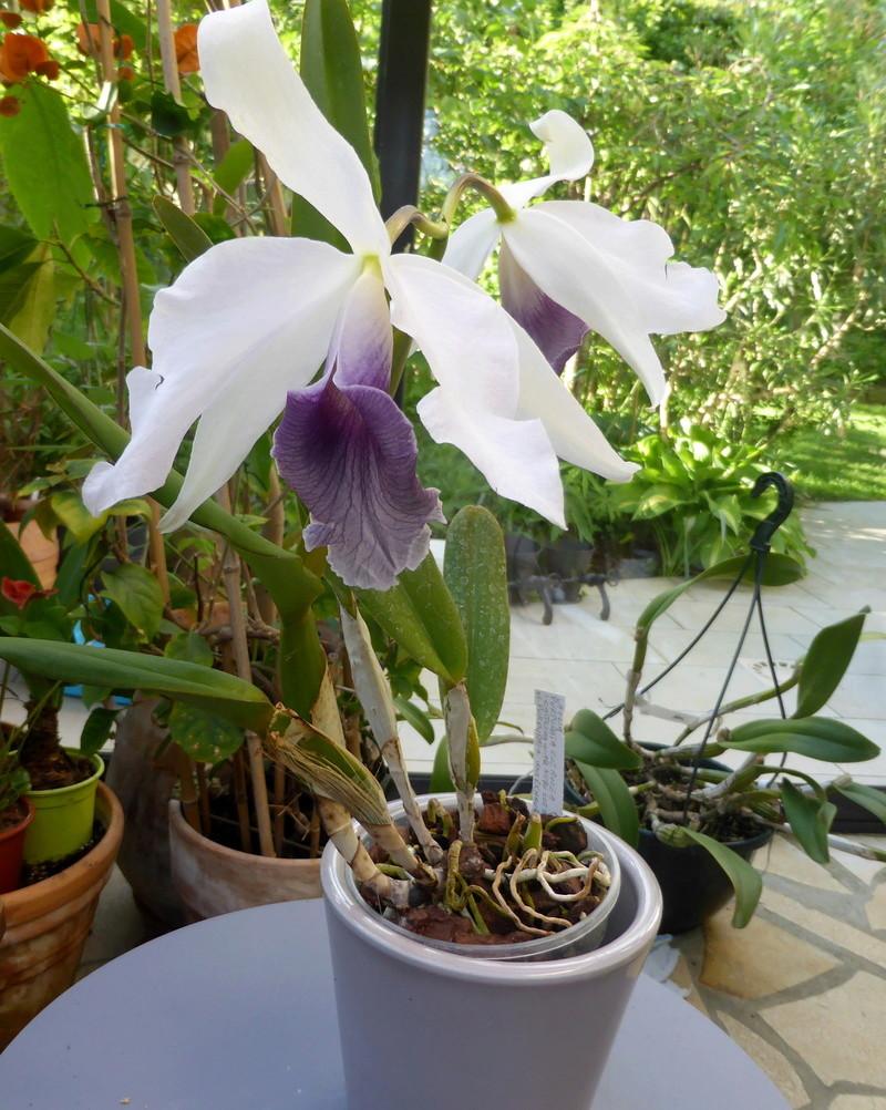 orchidées - floraisons du moment 2018 - Page 2 14-05-19
