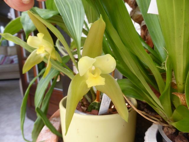orchidées - floraisons du moment 2018 22-02-11