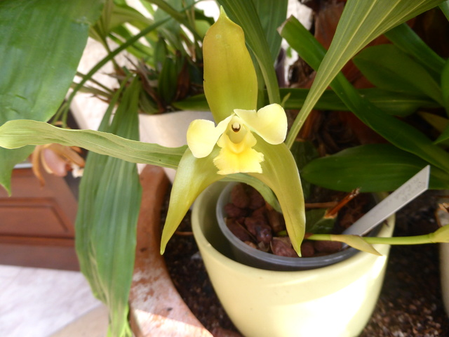 orchidées - floraisons du moment 2018 24-02-15