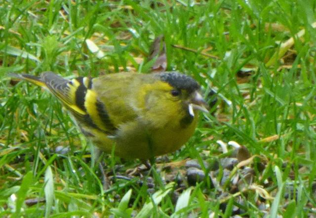 les visiteurs à plumes sauvages - 3 25-01-13