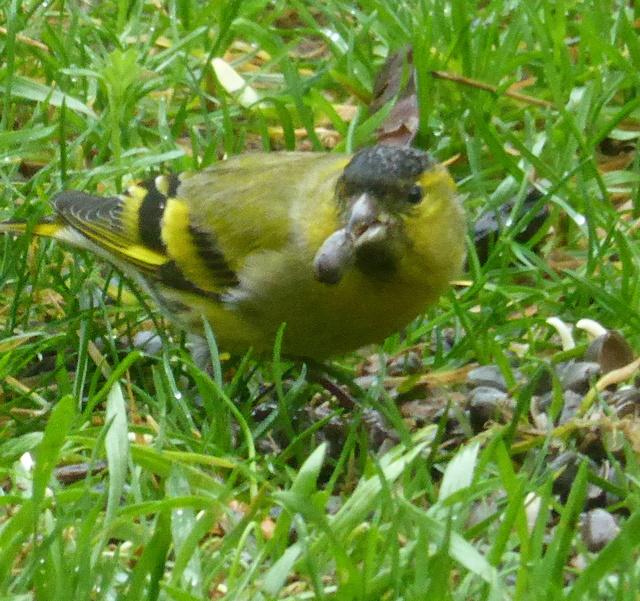 les visiteurs à plumes sauvages - 3 25-01-14
