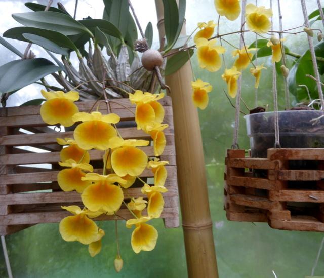 orchidées - floraisons du moment 2018 - Page 2 29-04-19