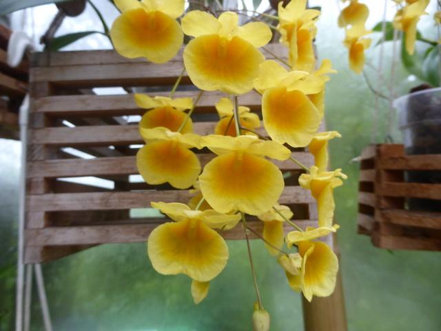 orchidées - floraisons du moment 2018 - Page 2 29-04-21