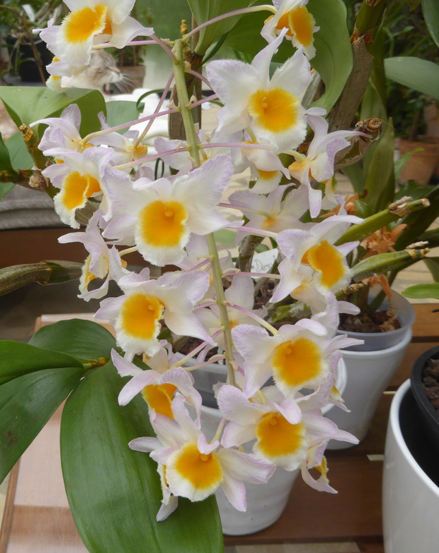 Dendrobium farmeri  30-04-11