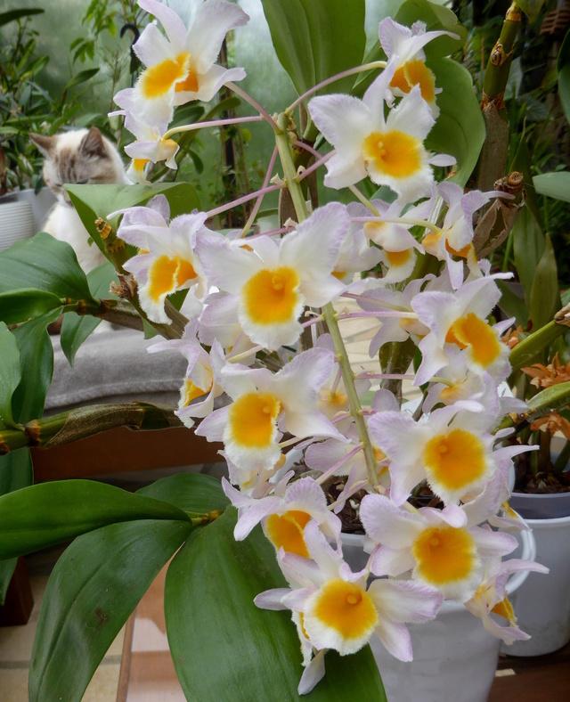 Dendrobium farmeri  30-04-12