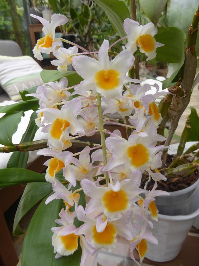 Dendrobium farmeri  30-04-13