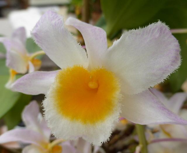 orchidées - floraisons du moment 2018 - Page 2 30-04-14