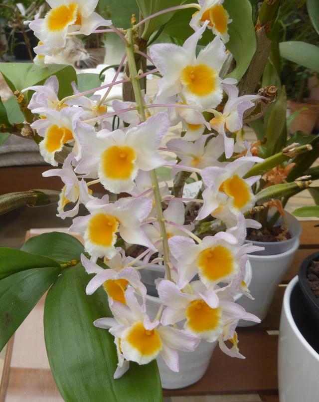 orchidées - floraisons du moment 2018 - Page 2 30-04-15