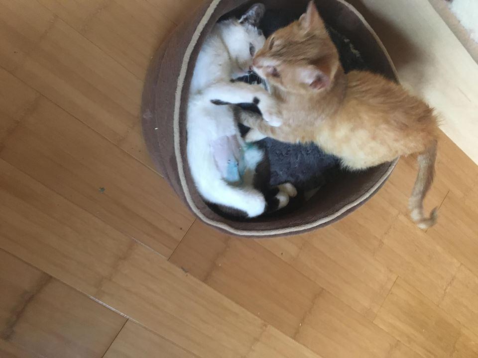 KITTY, Chatte, née  2017 (ORASTIE) Très gentille chatte blessée - en FALD chez TANIA (depart03) 34693910