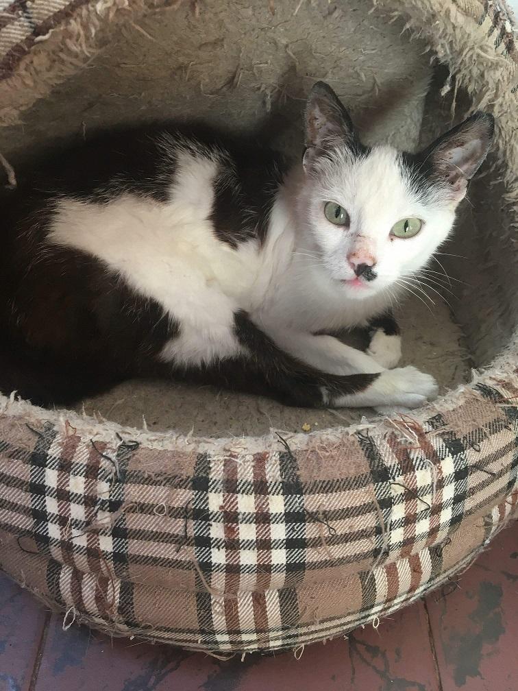 KITTY, Chatte, née  2017 (ORASTIE) Très gentille chatte blessée - en FALD chez TANIA (depart03) Photo310