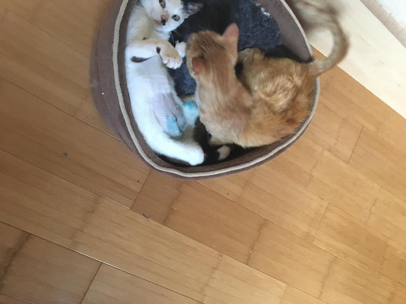 KITTY, Chatte, née  2017 (ORASTIE) Très gentille chatte blessée - en FALD chez TANIA (depart03) Receiv34