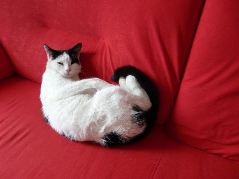 Perdu chatte noire et blanche en alsace P1040210
