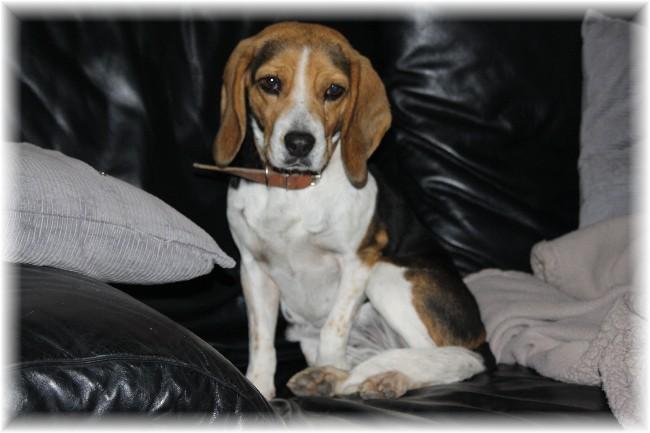 PEPETTE, beagle femelle, 2 ans (46) Img_7610
