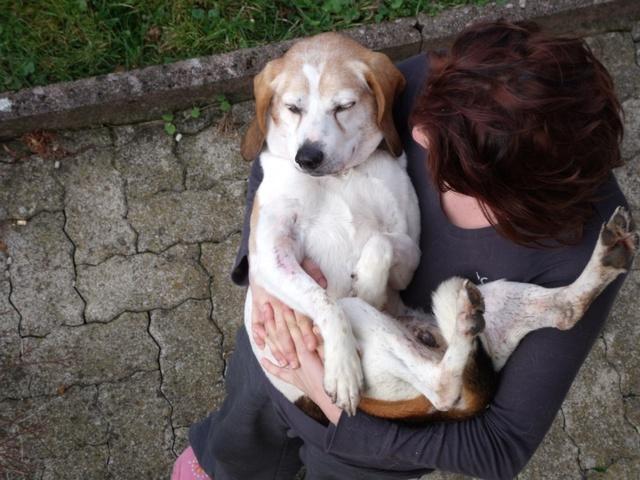 PATTO, croisé beagle mâle,  10 ans (25) Patto210