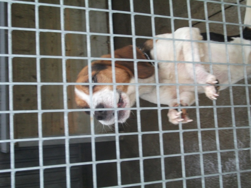 KOLA, type beagle mâle, 1 an 1/2, fourrière de Niort (79) Photo_10