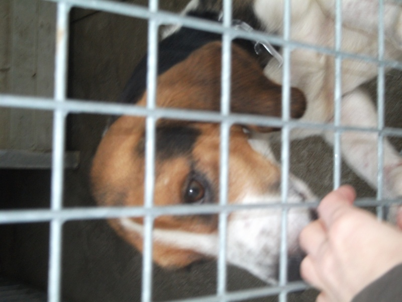 KOLA, type beagle mâle, 1 an 1/2, fourrière de Niort (79) Photo_11