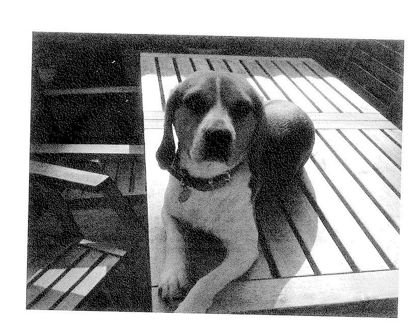 DOUGLY, beagle femelle, 2 ans (91) Sans_t10