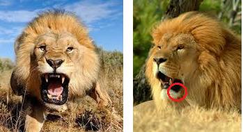 Têtes de lions - Page 2 Lion_d10