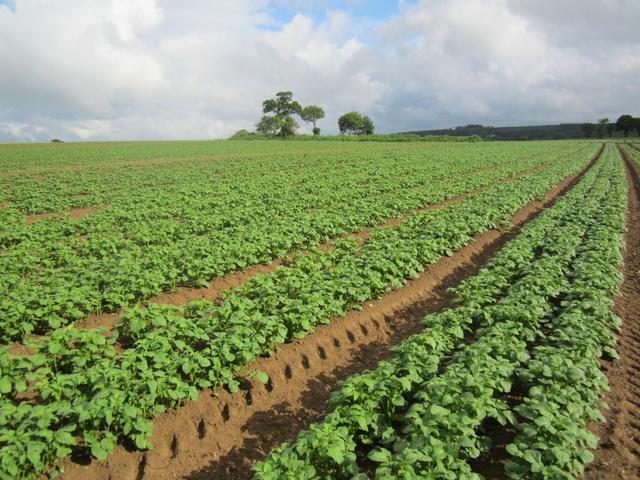 Évolution des cultures de pommes de terre 2018 - Page 3 Padt_r12