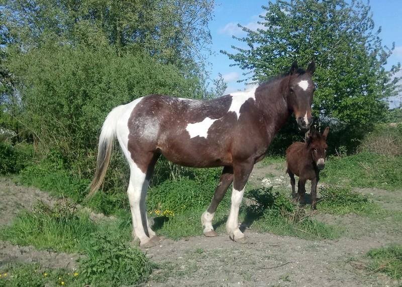 parage ane, mulet, bardot, chevaux - Page 5 Kay10