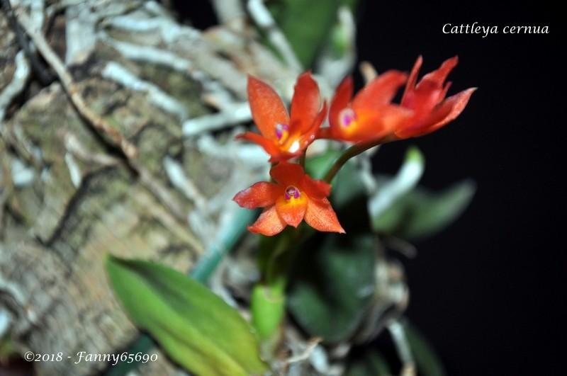 Cattleya cernua Dsc_0044
