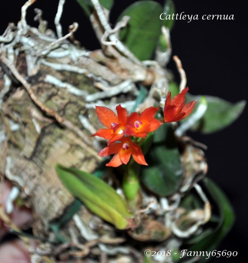 Cattleya cernua Dsc_0045