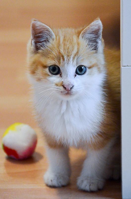 Sully (ancien Nesquik), mâle type européen roux et blanc, né début septembre 2017 Nesqui13