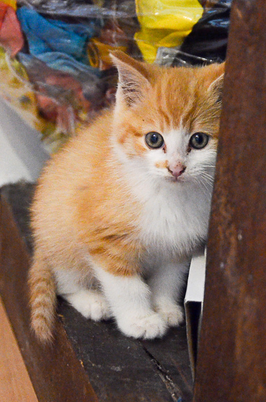 Sully (ancien Nesquik), mâle type européen roux et blanc, né début septembre 2017 Nesqui14