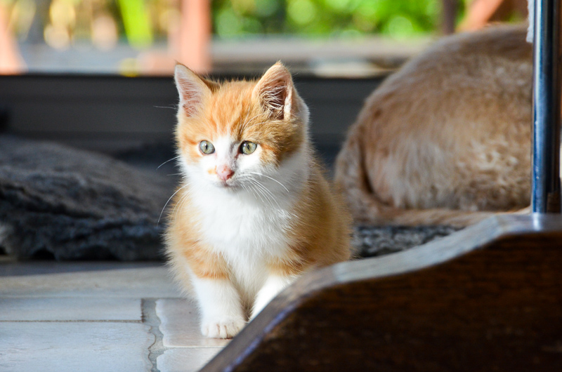 Sully (ancien Nesquik), mâle type européen roux et blanc, né début septembre 2017 Nesqui16
