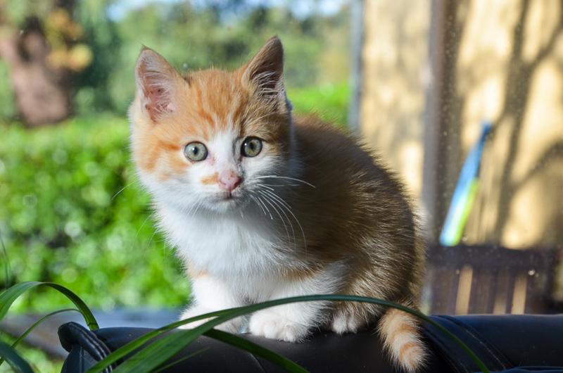 Sully (ancien Nesquik), mâle type européen roux et blanc, né début septembre 2017 Nesqui17