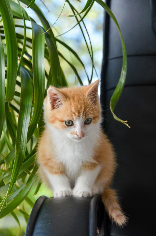 Sully (ancien Nesquik), mâle type européen roux et blanc, né début septembre 2017 Nesqui18