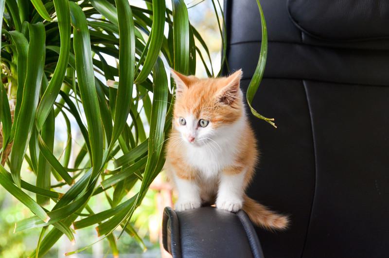 Sully (ancien Nesquik), mâle type européen roux et blanc, né début septembre 2017 Nesqui19