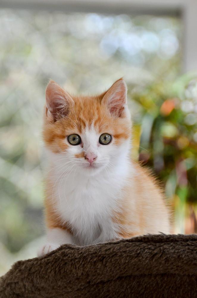 Sully (ancien Nesquik), mâle type européen roux et blanc, né début septembre 2017 Nesqui26