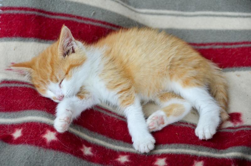Sully (ancien Nesquik), mâle type européen roux et blanc, né début septembre 2017 Nesqui29